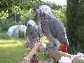 African grey parrot and cage for xmas